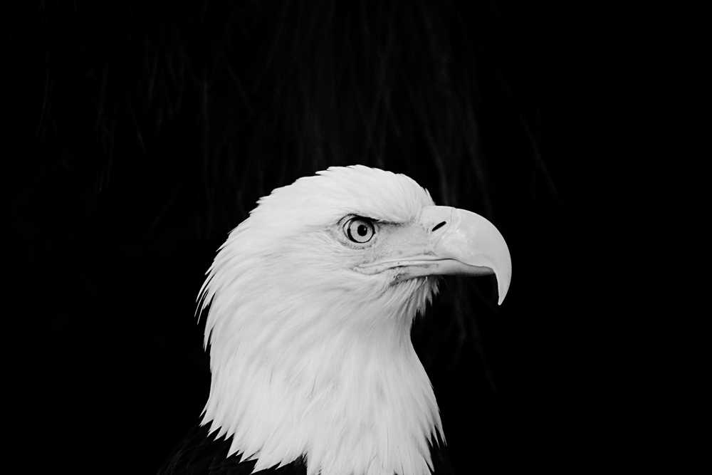 white Bald Eagle