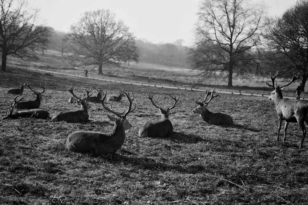 grayscale photography of group of deer