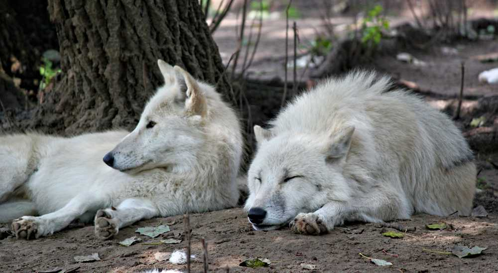 two white dogs lying on soil