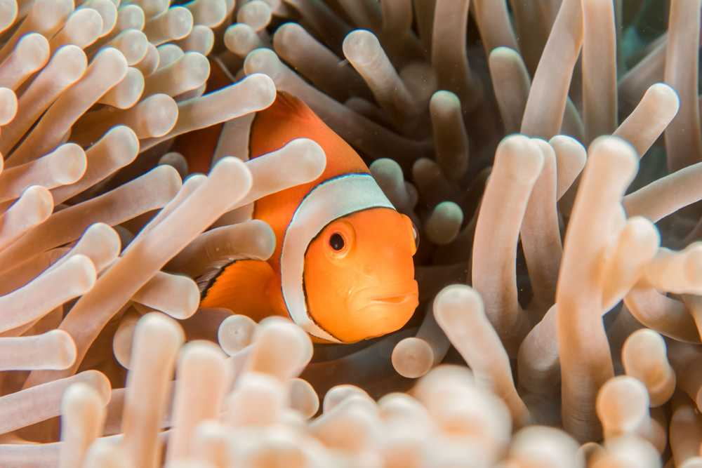 orange and white clownfish hiding in sea anemone