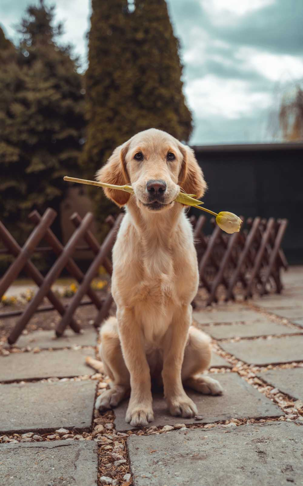 yellow Labrador retriever biting yellow tulip flower