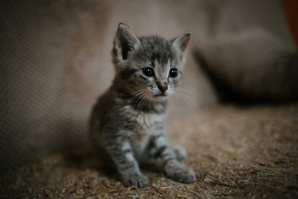 selective focus photography of sittng gray tabby kitten