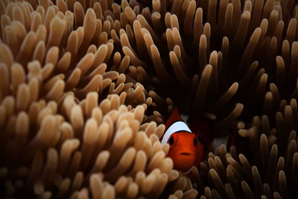 red and white clown fish