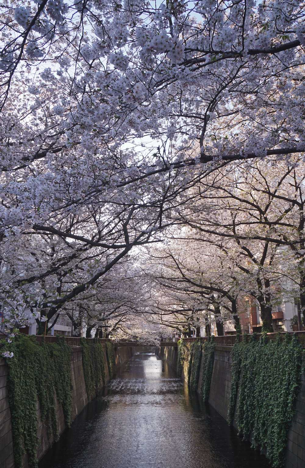 white cherry blossom trees near river