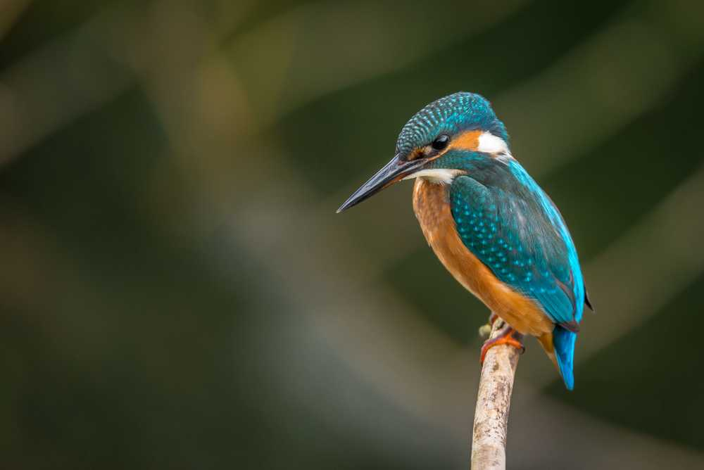 selective focus photography of blue kingfisher