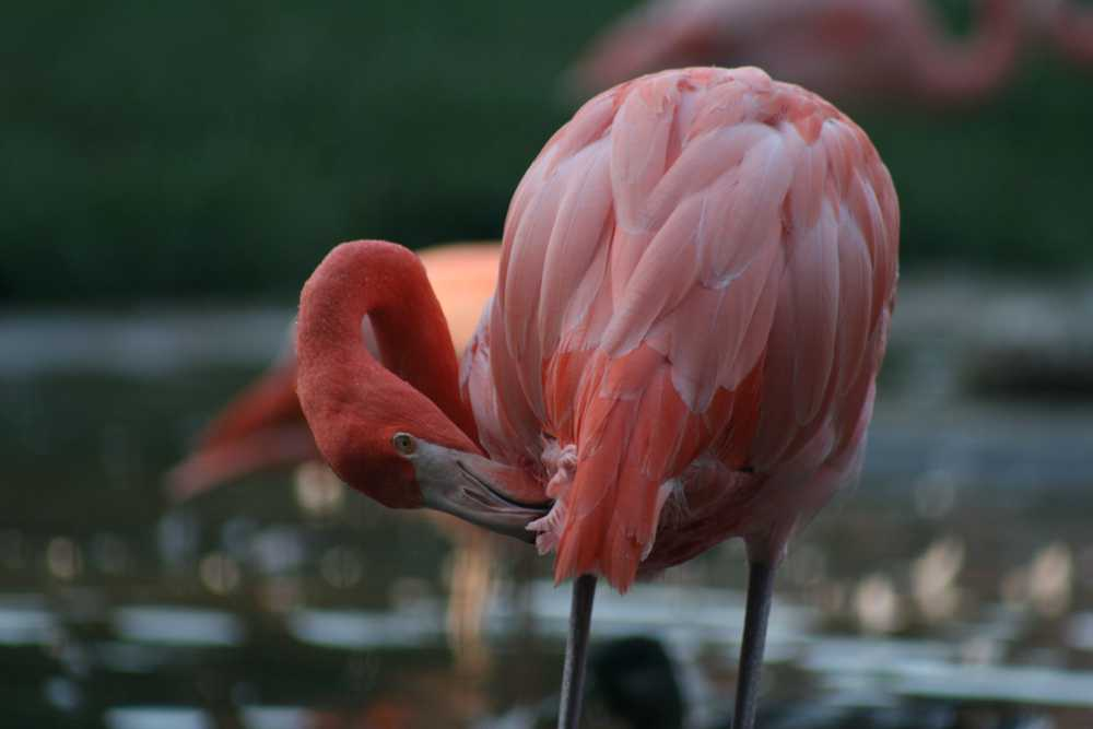 pink flamingo touching its own leg with beak
