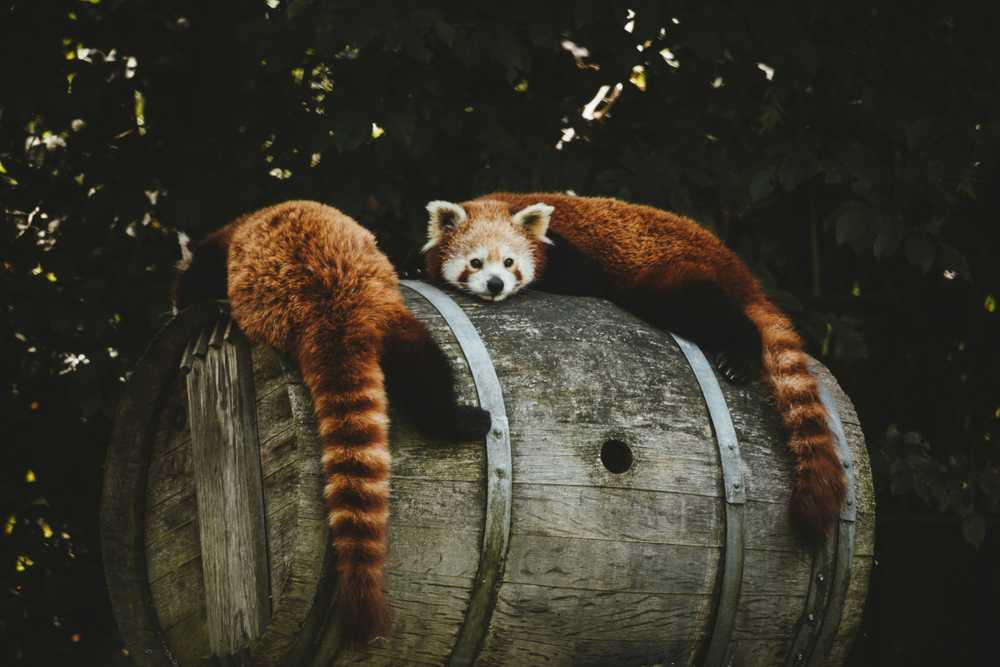 two brown animals lying on brown wooden wine barrel during daytime