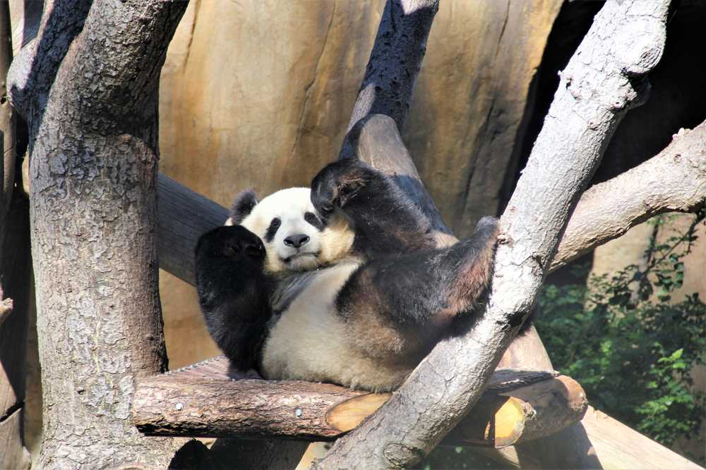 panda playing on tree branch