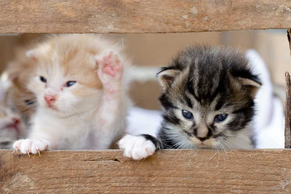 white and brown tabby kitten on brown wooden table