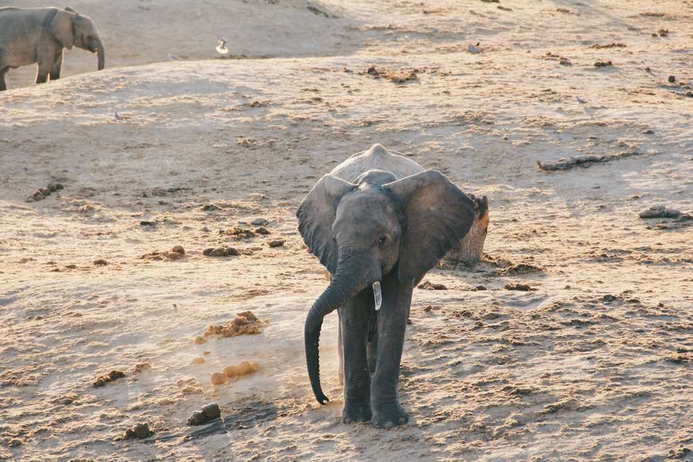 elephant calf at the field during day