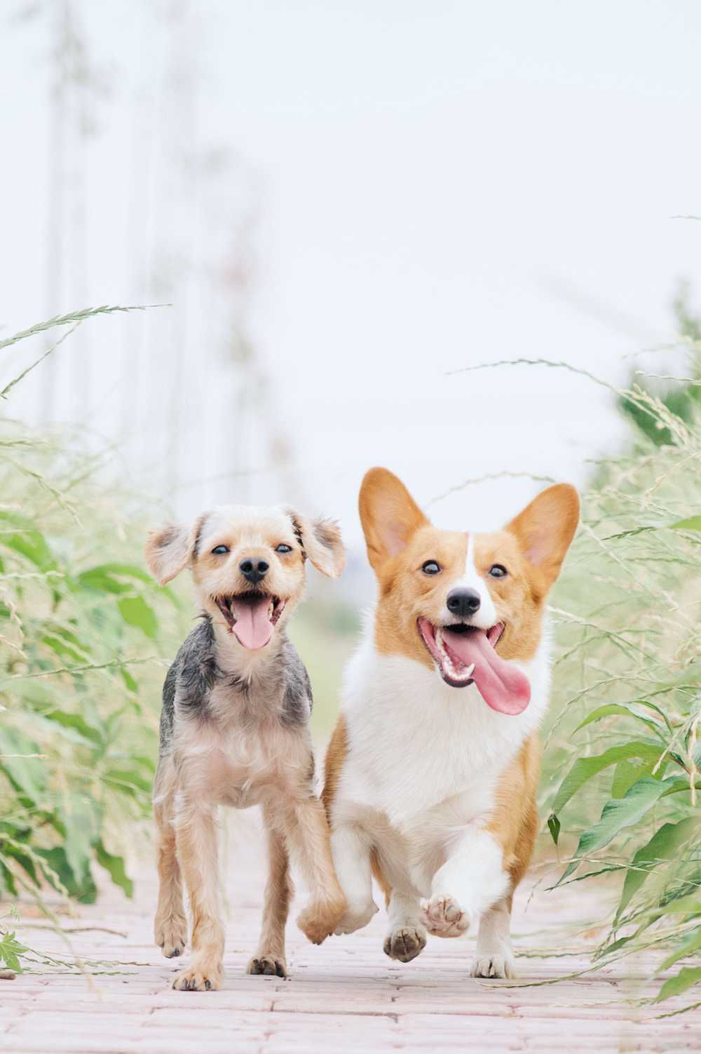 white and brown corgi besides brown dog
