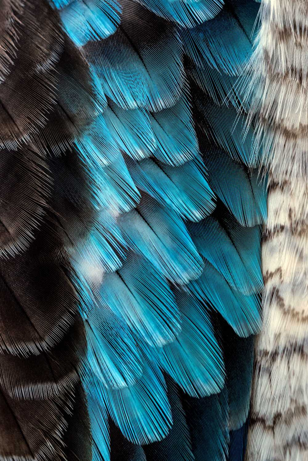 black and blue feather