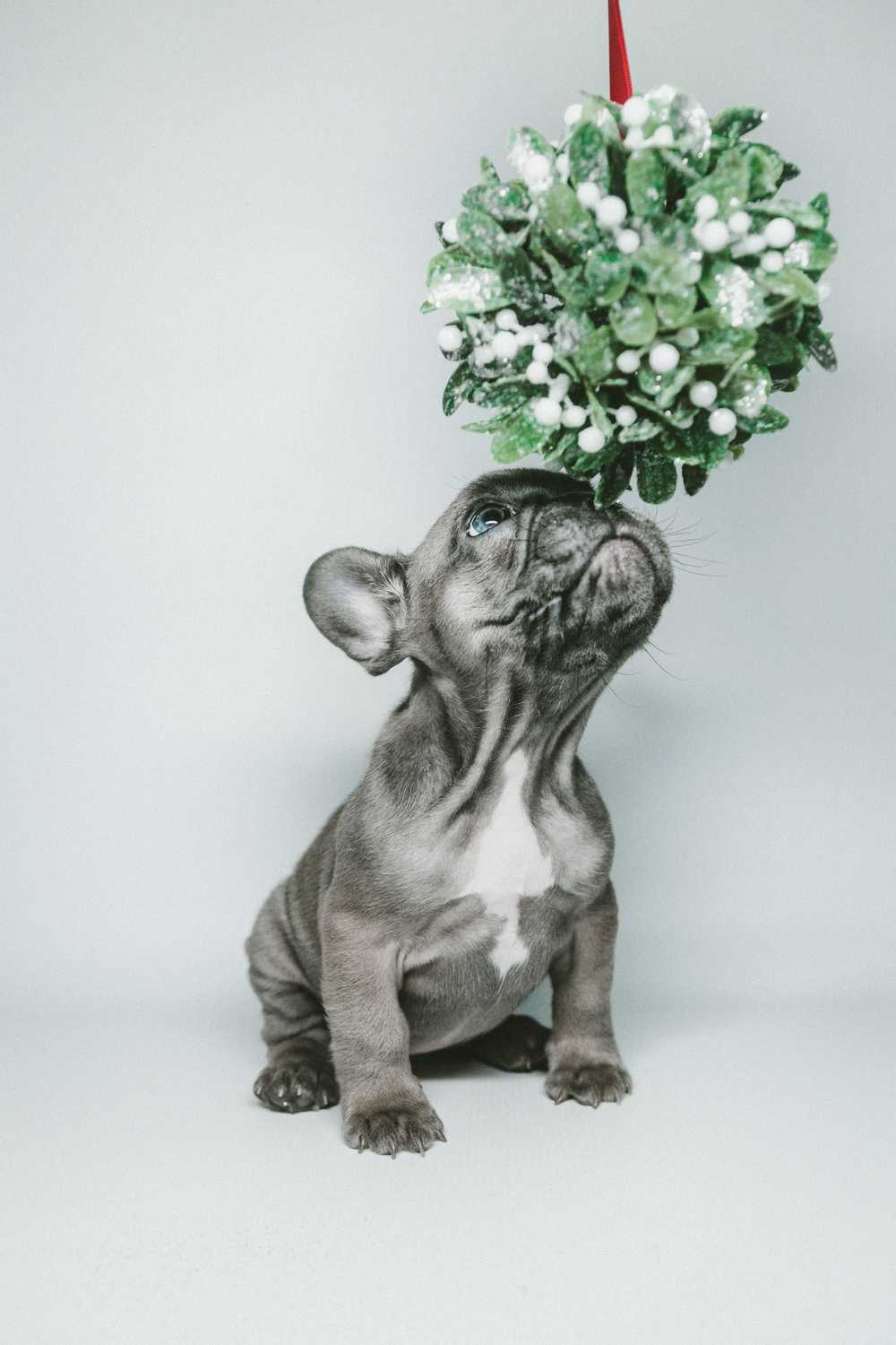 short-coated gray puppy smelling hanging flower