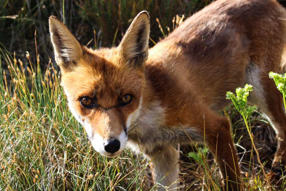 closeup photo of brown fox