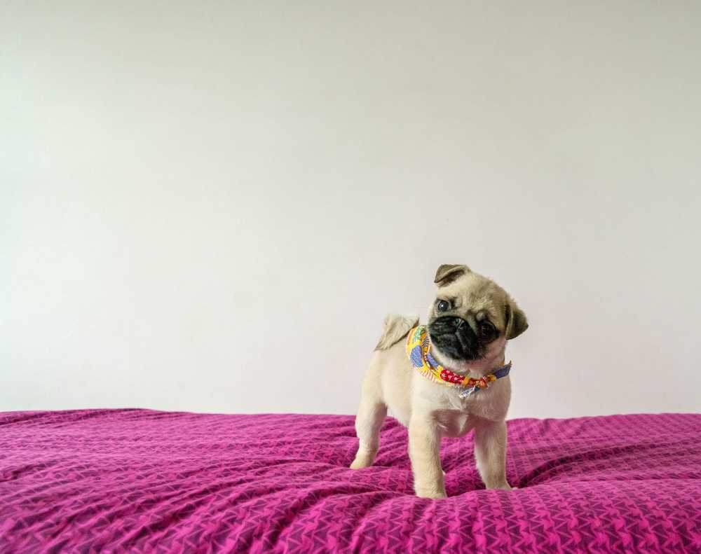 fawn pug standing on textile