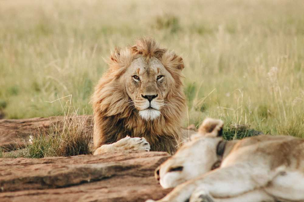 male brown lion lying on grass